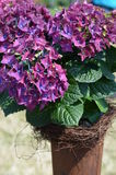 Hydrangea shrub in a metal flowerpot Royalty Free Stock Image