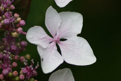 Hydrangea Single Flower. A single light pink Hydrangea flower with raindrops Royalty Free Stock Image