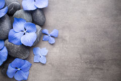 Hydrangea. Stock Image