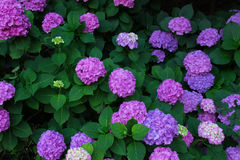 Hydrangea of a sunny day of purple royalty free stock images