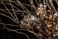 hydrangea torkade blommor Royaltyfri Foto