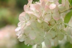 hydrangea Trädgårds- blomma Royaltyfri Bild