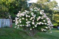 Hydrangea tree Stock Image