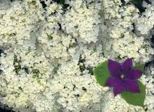 Hydrangea und Clematis Stockbild
