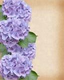 Hydrangea-und Efeu-Hochzeitsschablone Lizenzfreie Stockfotos