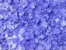 Hydrangea viola fotografie stock