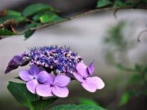 Hydrangea viola Immagine Stock Libera da Diritti