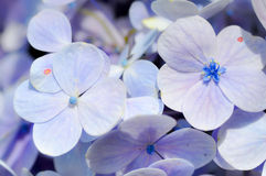 Hydrangea. Violet Hydrangea flowers in the garden Stock Images