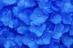 Hydrangea Wallpaper. Full frame image of beautiful blue hydrangea flowers royalty free stock photo