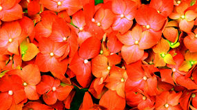 Hydrangea wallpaper Royalty Free Stock Images