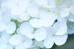 Hydrangea white Royalty Free Stock Images