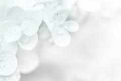 Hydrangea white Stock Photos