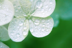 Hydrangea white Stock Image