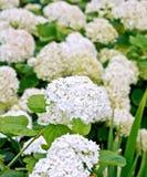 Hydrangea white Royalty Free Stock Photos