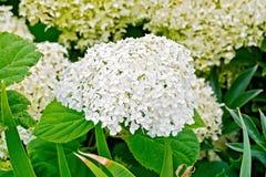Hydrangea white fluffy Stock Image