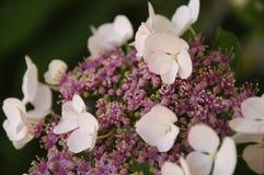 Hydrangea White Lace Cap Flowers. Close up color photograph Stock Photos
