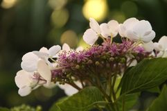 Hydrangea White Lace Cap Flowers. Close up color photograph Royalty Free Stock Photos
