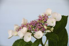Hydrangea White Lace Cap Flowers Stock Image