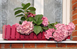 Hydrangea at a window Royalty Free Stock Photo