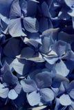 Hydrangeaceae Stockbilder