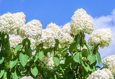 Hydrangeaceae hydrangea paniculata siebel grade polar bear. High bushes with cone-shaped large clusters of small white flowers against the blue sky and clouds royalty free stock images