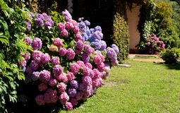 Hydrangeaceae. Hydrangeas in a backyard garden of La Falda - Argentina royalty free stock photography