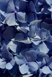 Hydrangeaceae. Hydrangeas in a backyard garden of La Falda - Argentina stock images