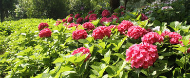 Hydrangeas, κόκκινο Hydrangea, κόκκινο λουλούδι, λουλούδια Στοκ Εικόνες