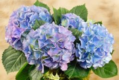 Hydrangeas Stock Images