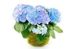 Hydrangeas Royalty Free Stock Photography