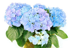 Hydrangeas Images stock