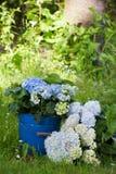 hydrangeas стоковые фотографии rf