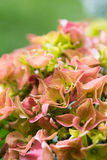 hydrangeas стоковое изображение