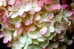 hydrangeas royalty-vrije stock afbeelding