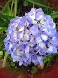 hydrangeas Imagen de archivo libre de regalías