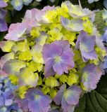 hydrangeas royaltyfria bilder