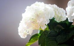 hydrangeas Immagini Stock Libere da Diritti