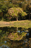 Hydrangeas in the Autumn. With their reflection in a pond Stock Photos
