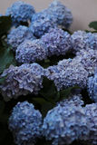 Hydrangeas azuis foto de stock royalty free
