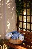 Hydrangeas and basket Royalty Free Stock Photo