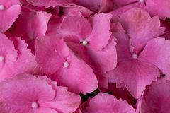 Hydrangeas bloomed Stock Images