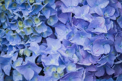 Hydrangeas blu Fotografia Stock