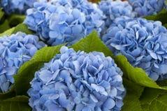 Hydrangeas blu La geometria quasi perfetta fotografia stock libera da diritti