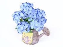 Hydrangeas blu in un Watering-can Immagine Stock