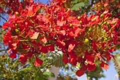 Hydrangeas blue. Branch of tree with orange flowers Regia delonix under blue sky Stock Photos
