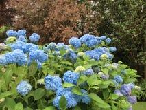 Hydrangeas. Blue hydrangeas in a garden Royalty Free Stock Image