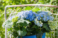 Hydrangeas Stock Photos