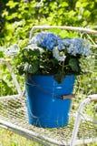 Hydrangeas Stock Images