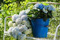 Hydrangeas Royalty Free Stock Photo