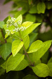 Hydrangeas branch Stock Images